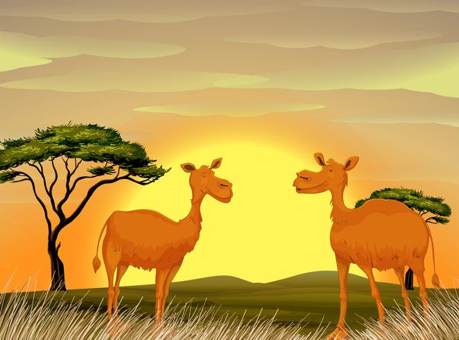 Kameler stående i fältet vid solnedgången