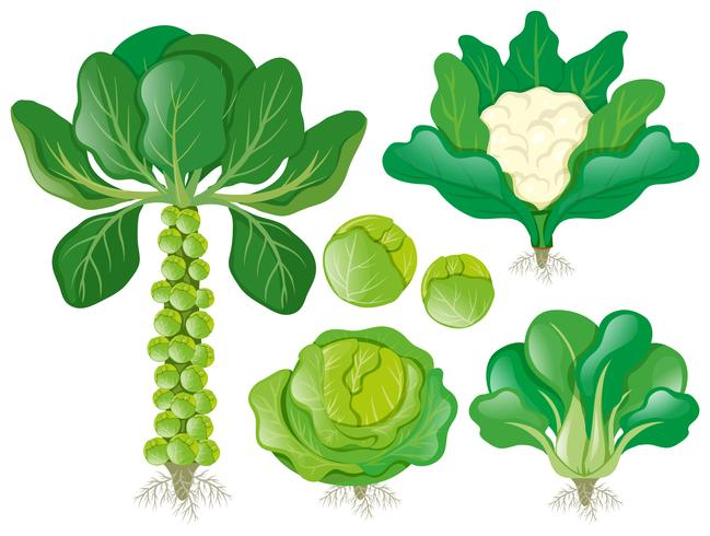 Different types of head vegetables