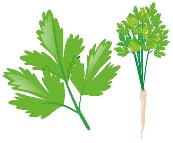 Witte radijs met groene bladeren