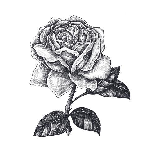 Rose Gezeichnet