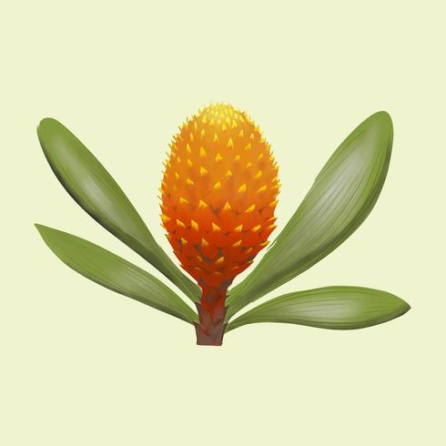 Young pineapple fruit