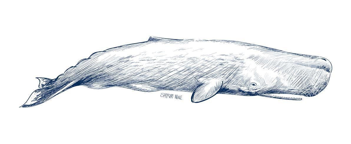 Estilo de dibujo de ilustración de cachalote