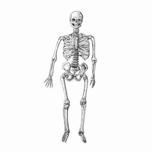 Handritat mänskligt skelett