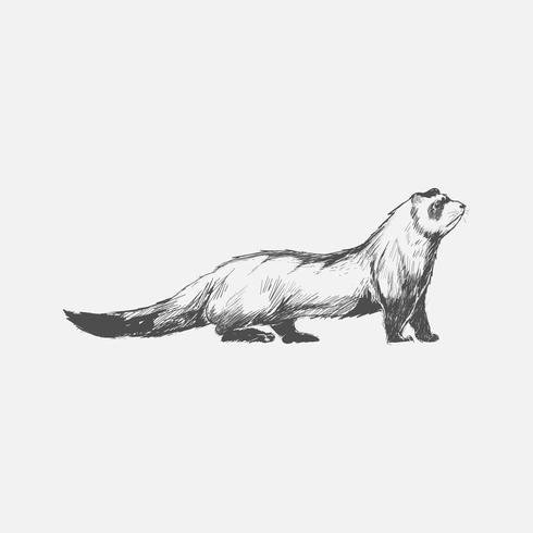 Illustrationsritning av ferret