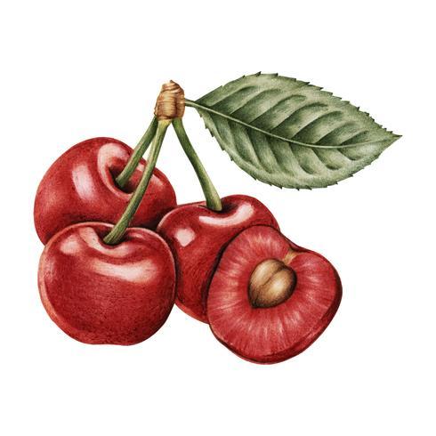 Mazzo di ciliegie disegnato a mano