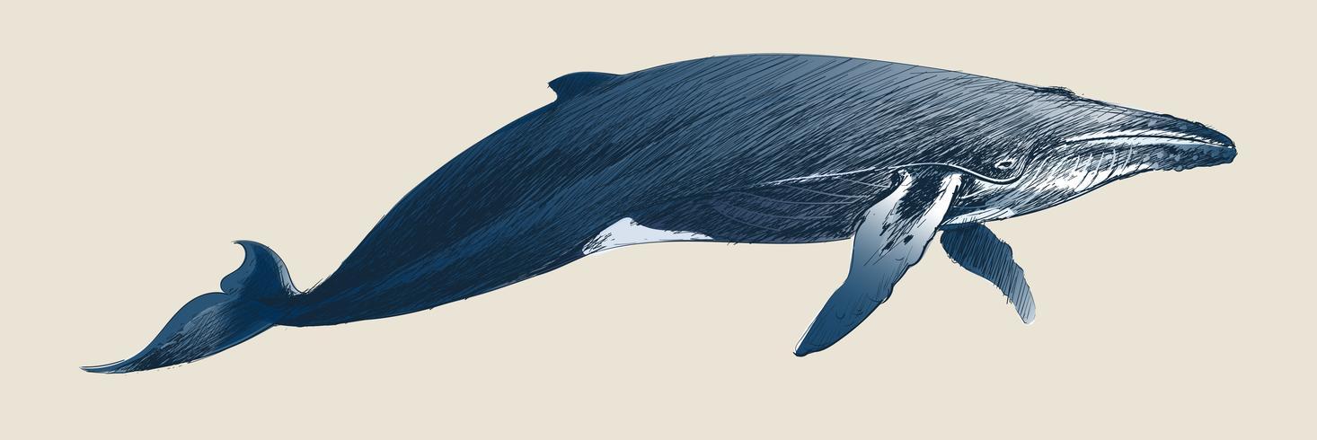 Dessin vintage de baleine à bosse