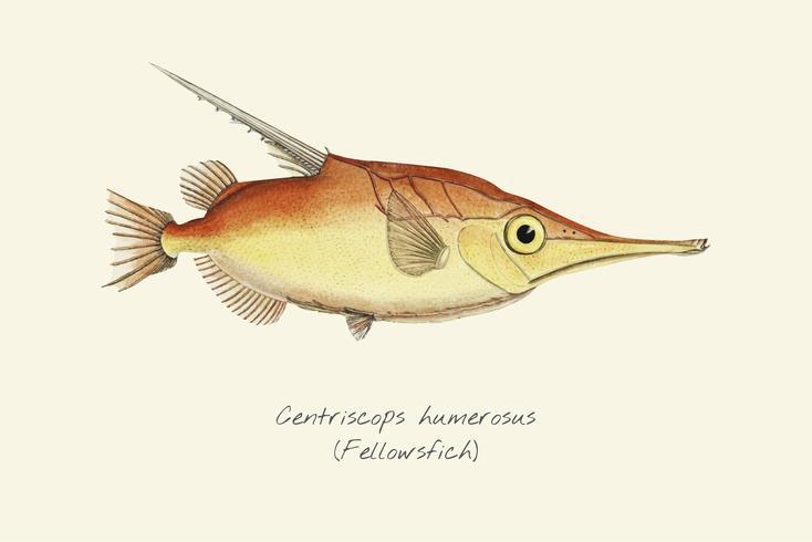 Bellowfish à bandes