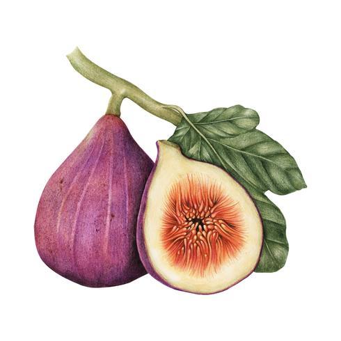 Stile di disegno illustrazione di fig