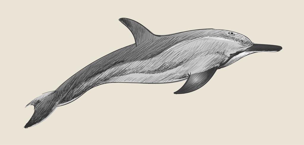 Illustration ritning stil av dvärg spinner delfin