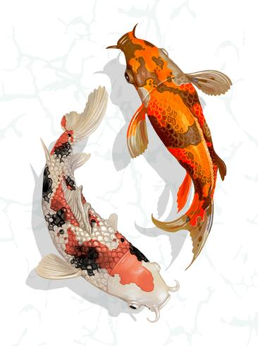 Due pesci giapponesi Koi nuotano