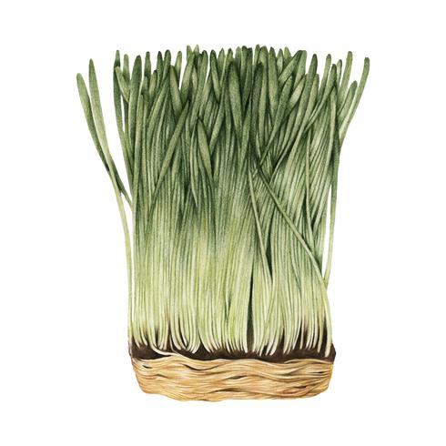 Handritad skiss av wheatgrass