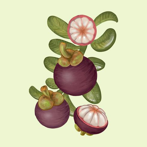 Drawing of mangosteens