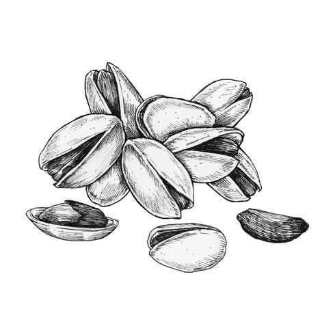 Hand drawn pistachio isolated