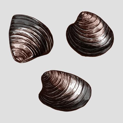 Hand drawn clam bivalve mollusc