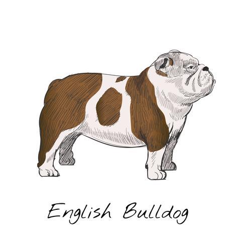Engelse buldog uitstekende tekening