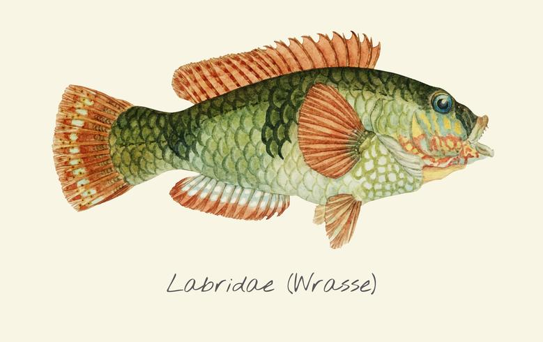 Wrasse fisk vektor