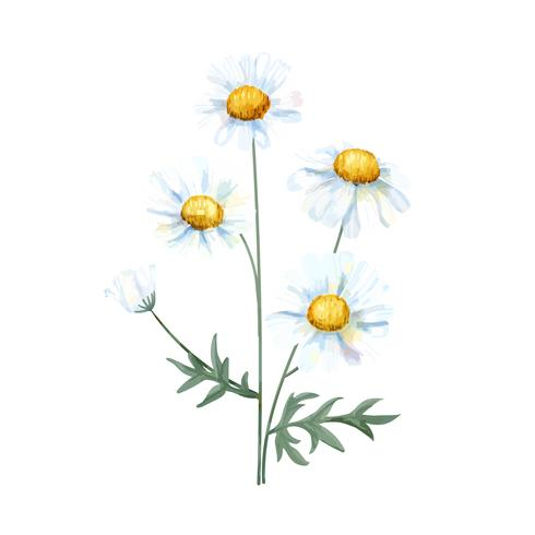 Hand drawn white common daisy flower illustration