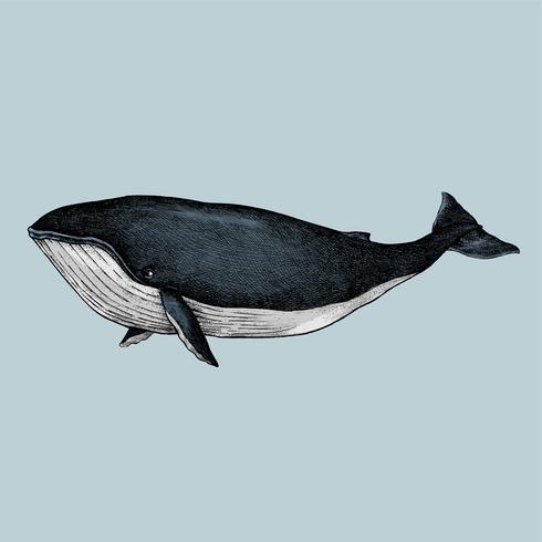 Croquis dessiné à la main d'une baleine