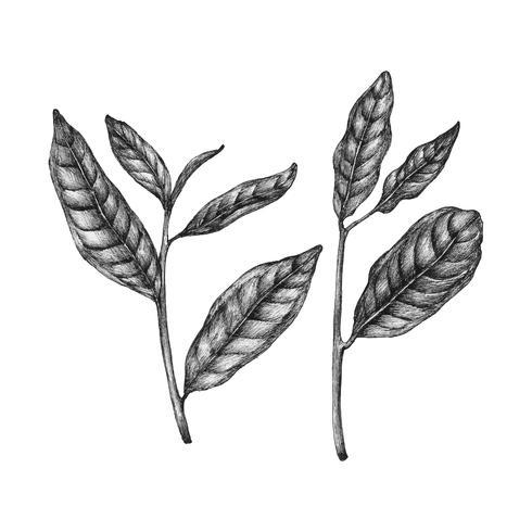 Hand drawn fresh green tea leaf