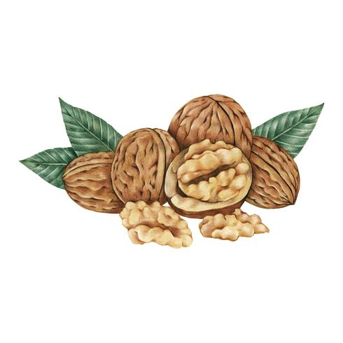 Hand drawn sketch of walnuts
