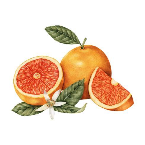 Croquis dessiné à la main des oranges