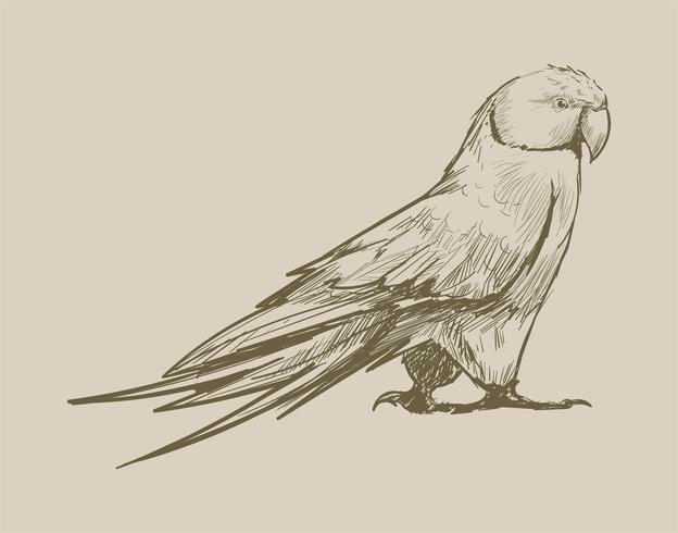 Illustrationsritning av papegoja
