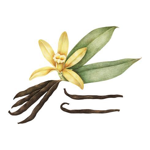 Illustration de vanille