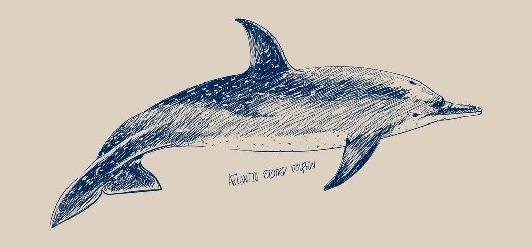 Illustration ritning stil av atlantisk prickad delfin