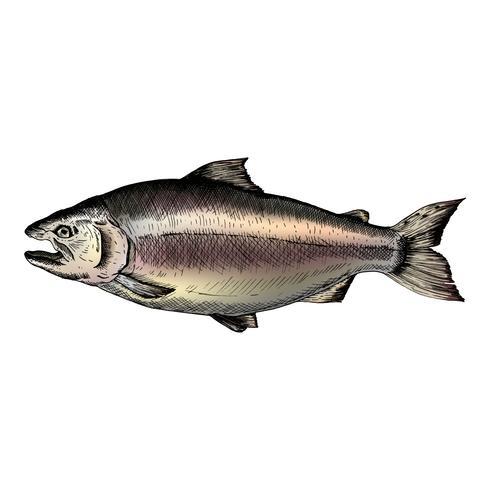 Mão desenhada salmão peixe