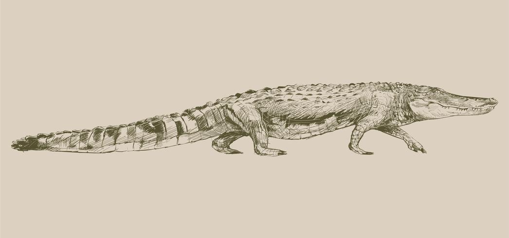 Illustrationsritning av alligator