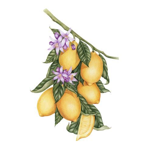 Illustrazione stile di disegno di limone