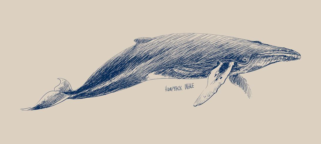 De stijl van de illustratietekening van gebochelde walvis