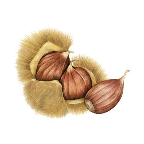 Ilustración de una castaña cruda