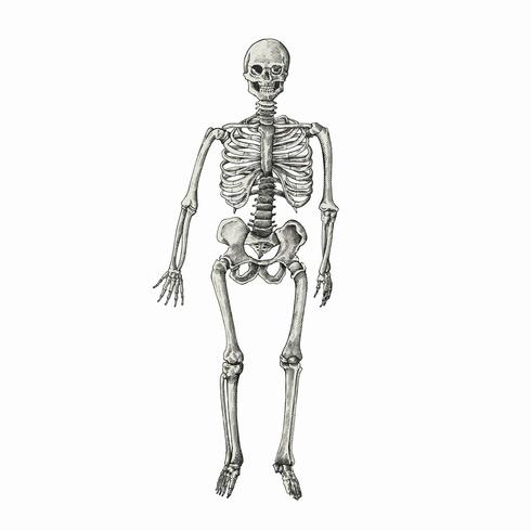 Hand drawn sktech of a human skeleton