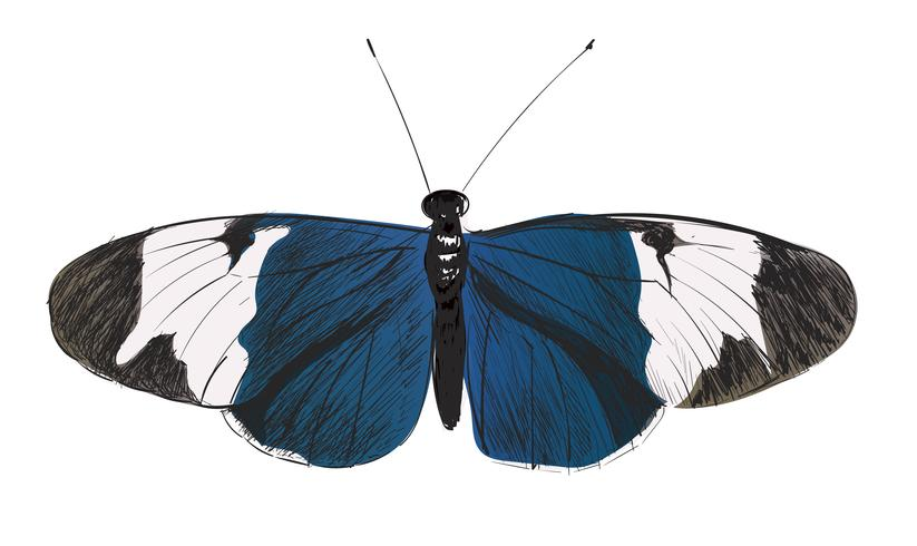 Illustration drawing style of butterfly