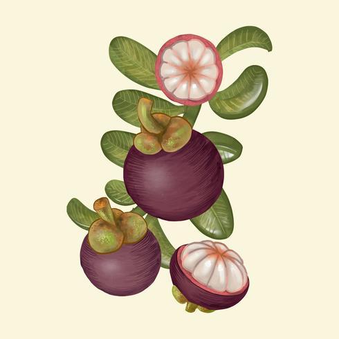 Mangostano viola disegnato a mano isolato
