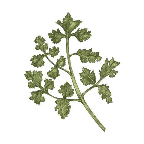 Illustration of fresh parsley vector