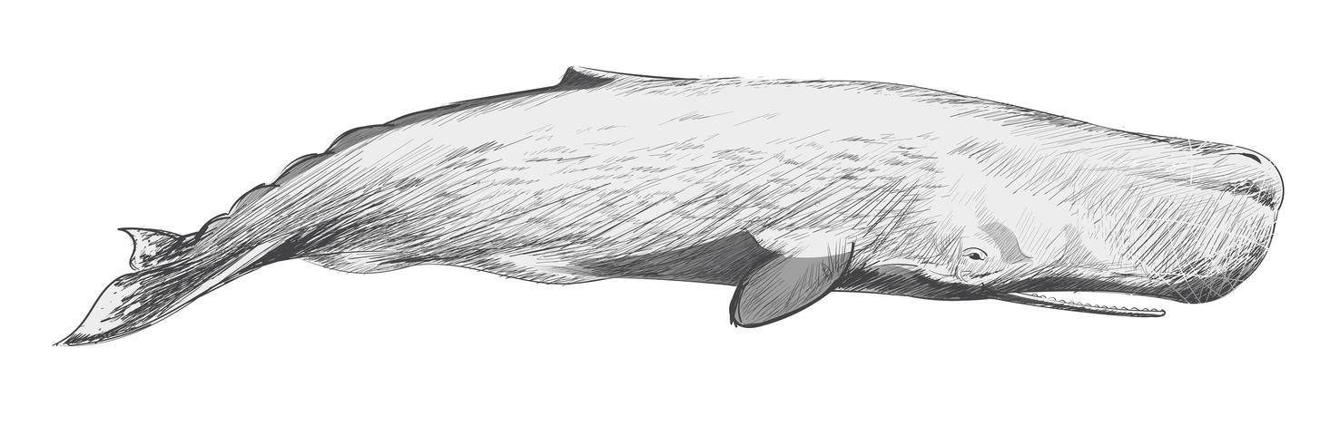 Illustration ritning stil av sperm whale