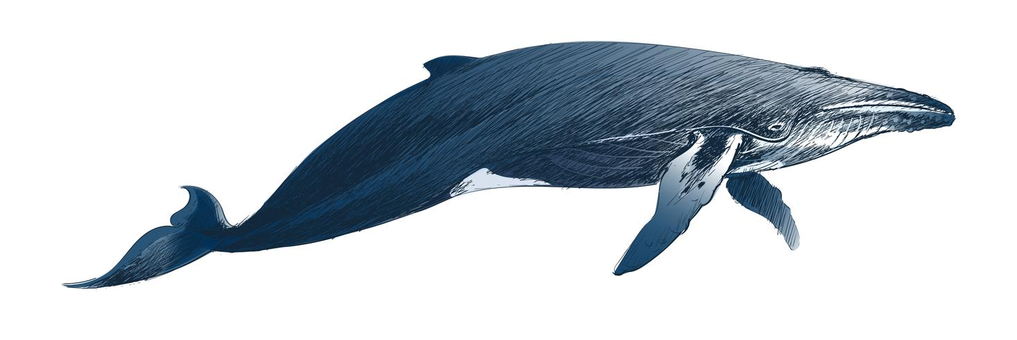 Illustration drawing style of humpback whale