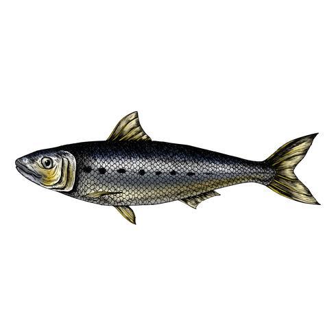 Handgezeichnete Sardinenfische