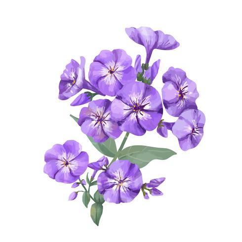Dibujado a mano ilustración de flor púrpura phlox