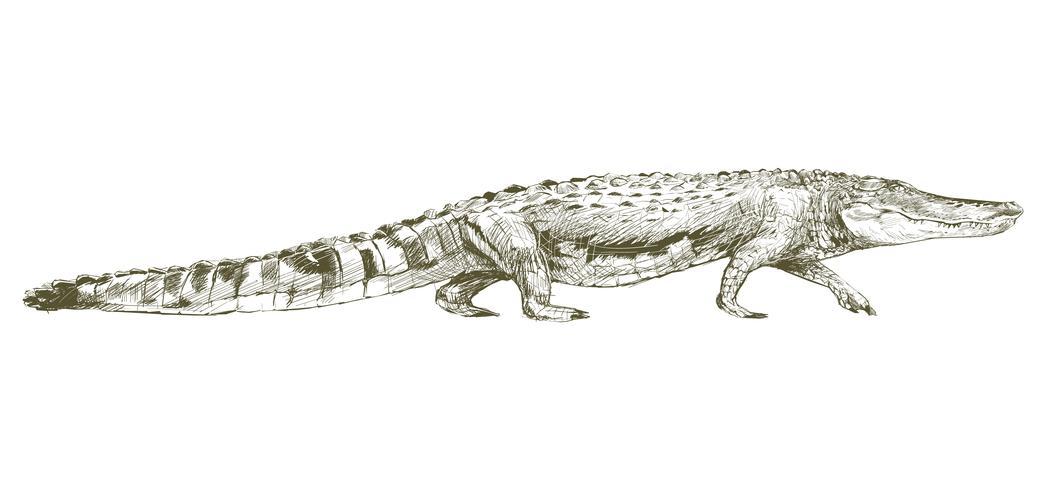 De tekeningsstijl van de illustratie van alligator