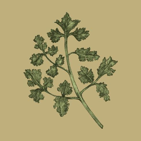 Illustration of fresh parsley vector