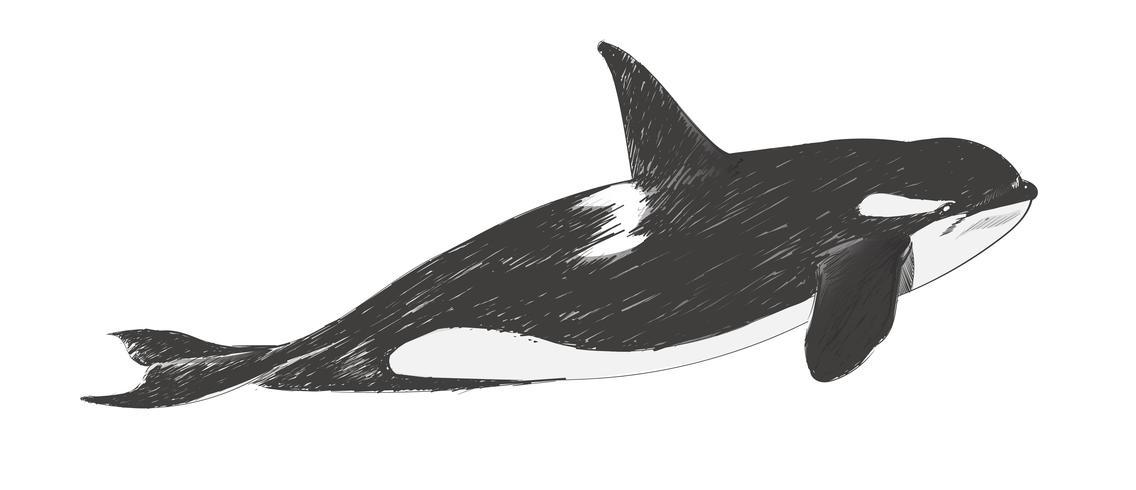 Illustrationszeichnungsart des Killerwals