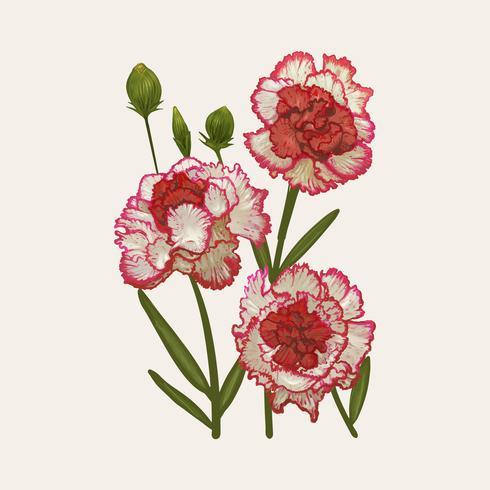Ilustração, desenho, de, dianthus caryophyllus