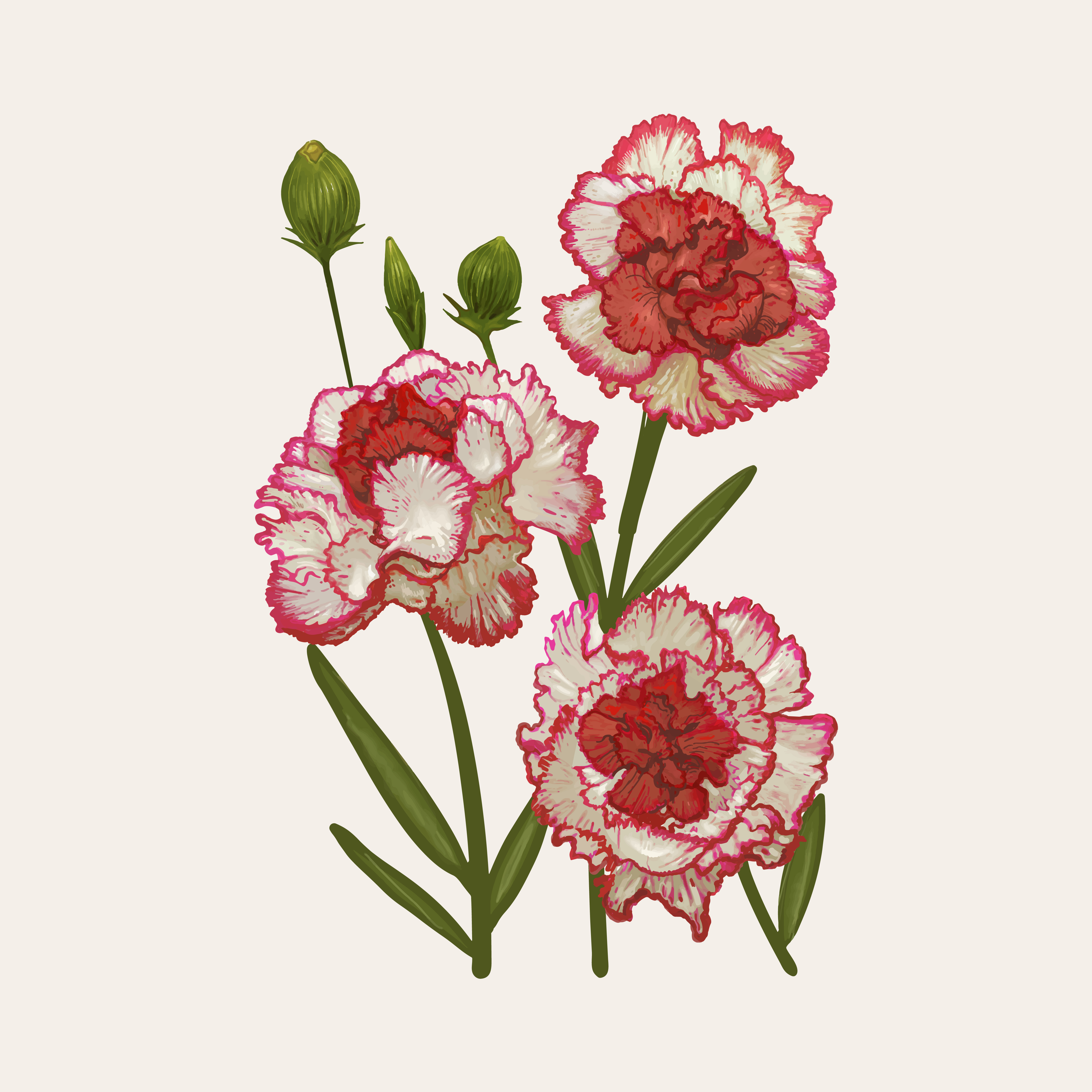 It is a photo of Exhilarating Pink Carnation Drawing
