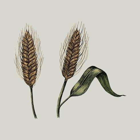 Ilustración de cultivos de trigo fresco