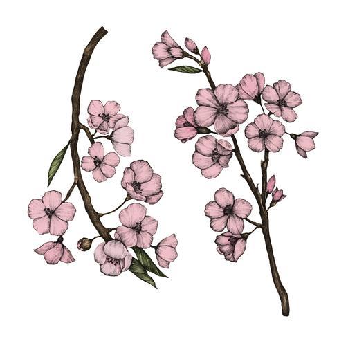 Illustration of Cherry Blossom flower
