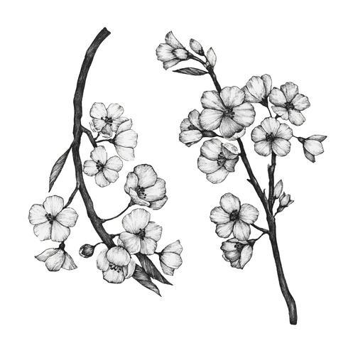 Dibujado a mano de la flor de sakura