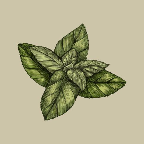 Ilustração, de, fresco, hortelã sai